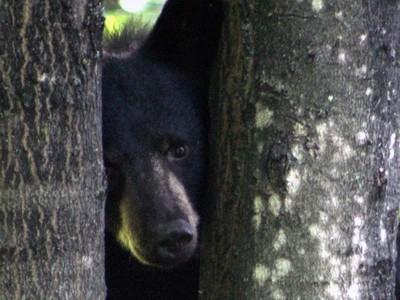 Black Bear Peek a Boo