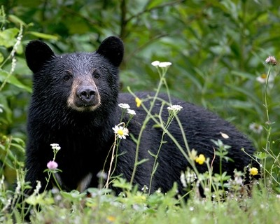 Black Bear with Daisies