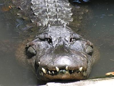 Gator Grin