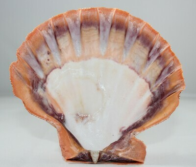 Lions Paw Shell