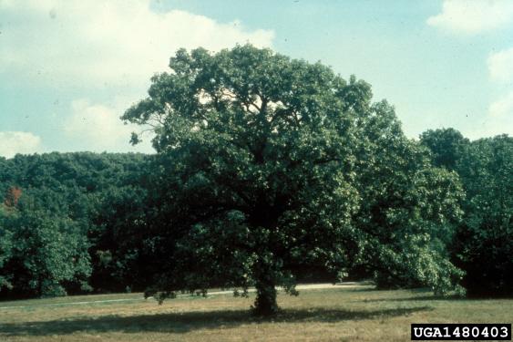 Bur Oak Seedlings
