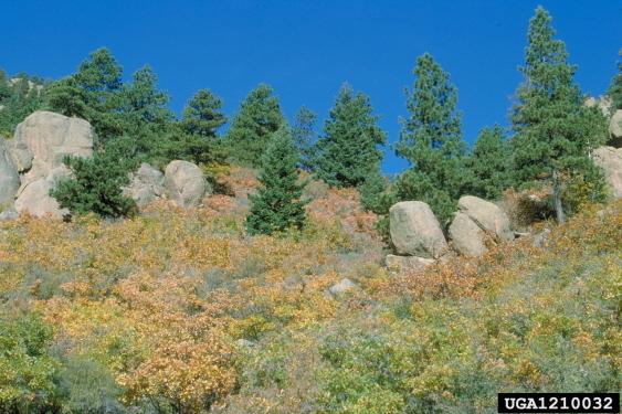 Ponderosa Pine Seedlings