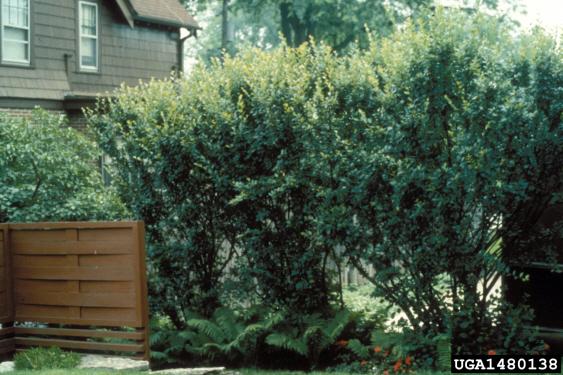 Cotoneaster Seedlings
