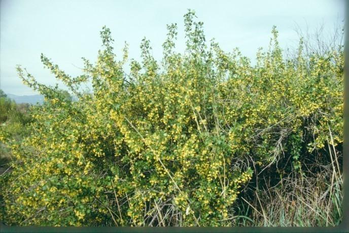 Golden Currant Seedlings