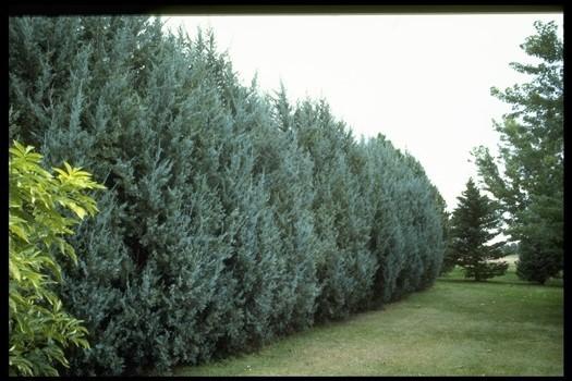 Rocky Mountain Juniper Seedlings