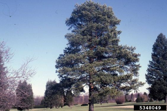 Scotch Pine Large