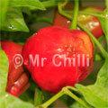 Pepper-Due - 10 seeds
