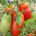 San Marzano - 10 Seeds