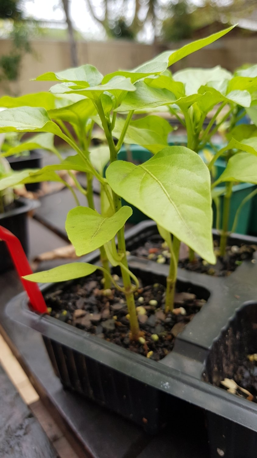 Mixed Baby Sweet Pepper Plants - 20 Seeds