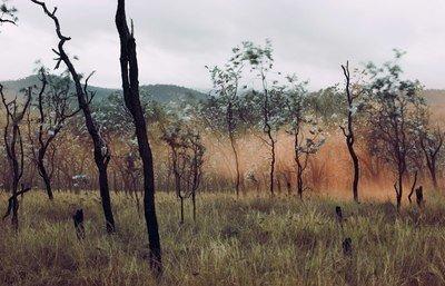 Silver-leaf Ironbarks at dawn