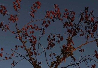 Kapok (Cochlospermum fraseri)