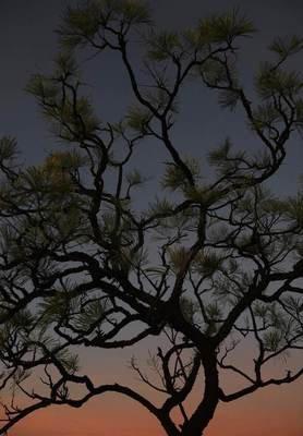 Catustic Bush (Grevillea pyramidalis)