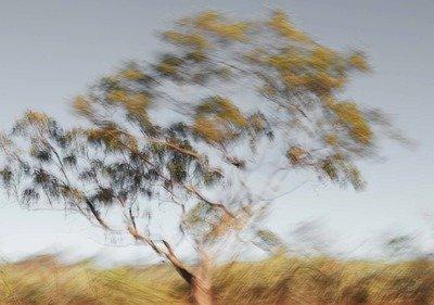 Desert Bloodwood (Corymbia opaca)
