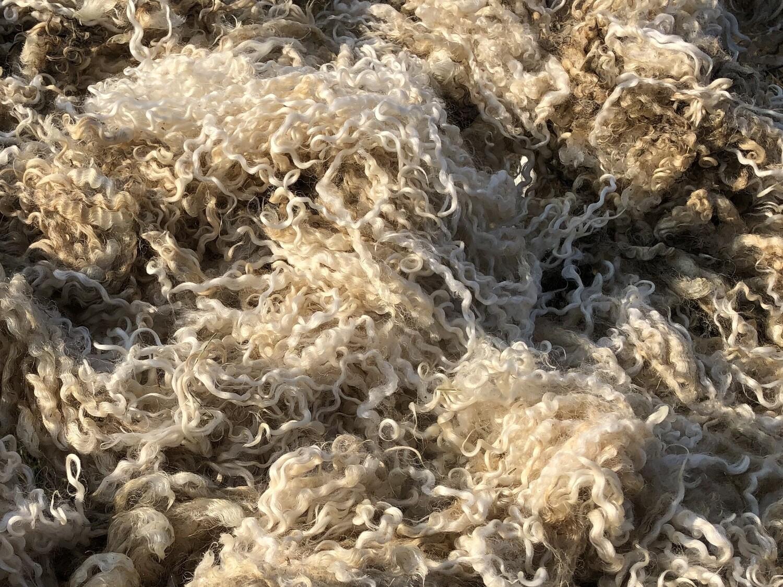 Registered Teeswater Raw Fleece