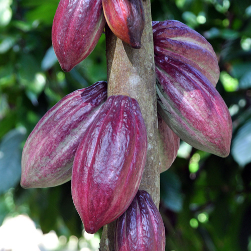 Adopt-a Mature Cocoa Tree (12 months)