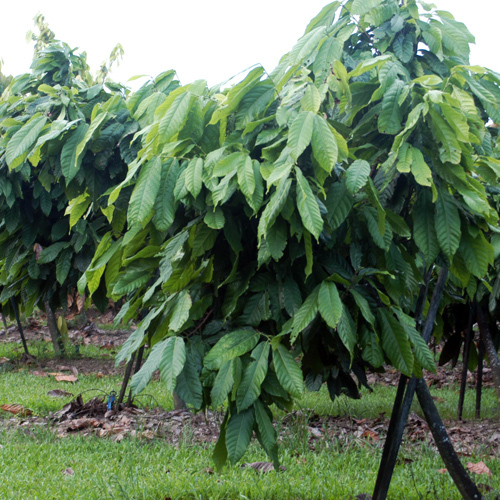 Adopt-a Mature Organic Cocoa Tree (12 months)