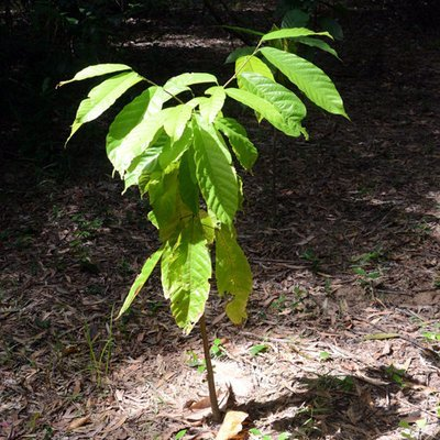 Adopt-a-cocoa Organic Seedling