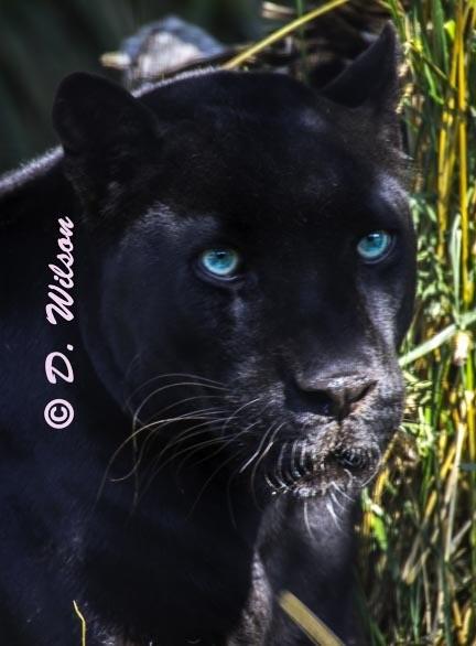 Black Panther  --  starting at