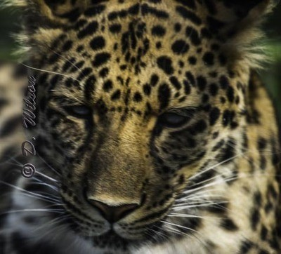 Raina (Amur Leopard)  --  starting at