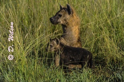 Mama and Baby Hyena  --  starting at