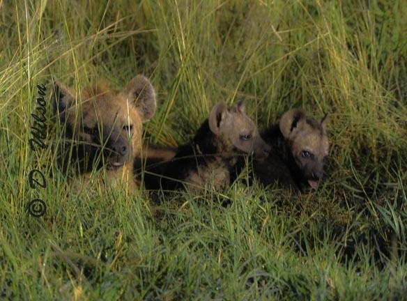 Manny, Mo and Jack - Baby Hyena  --  starting at