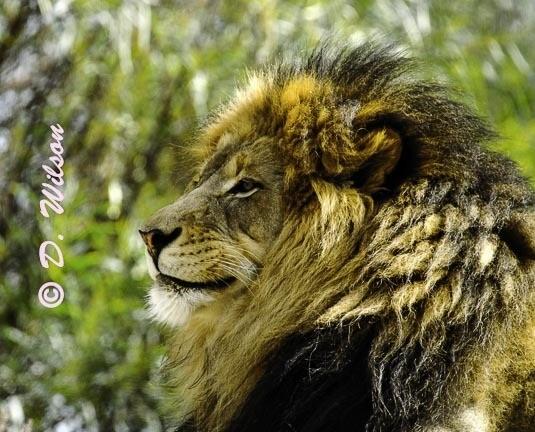 Lion King  --  starting at