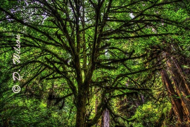 Sitka Spruce Tree - Trillium Falls Orick, CA  (HDR)  --  starting at