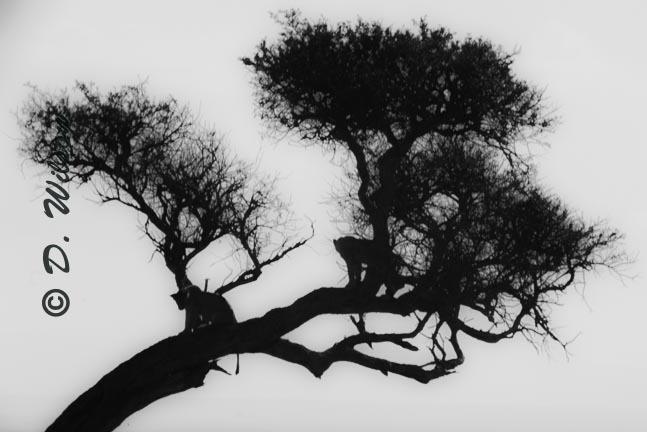 Lion Silhouettes in Tree - Kenya, Africa  --  starting at