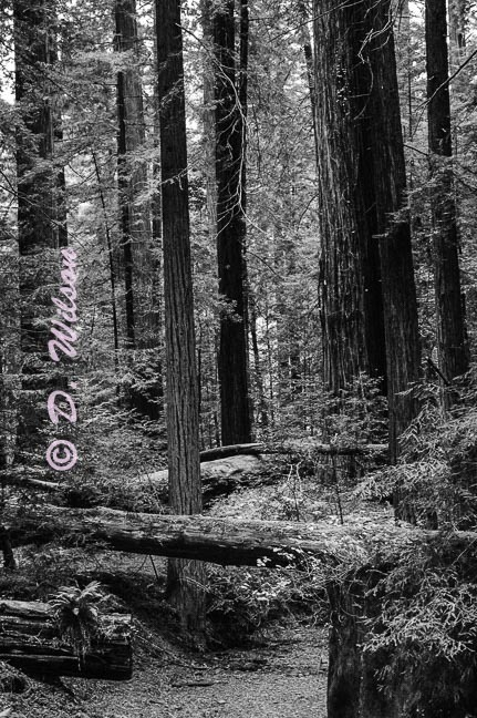 Red Woods, Ca  --  starting at