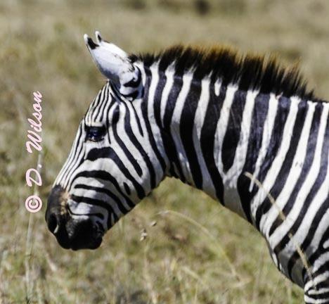 Zebra 1 - Kenya Africa  --  starting at