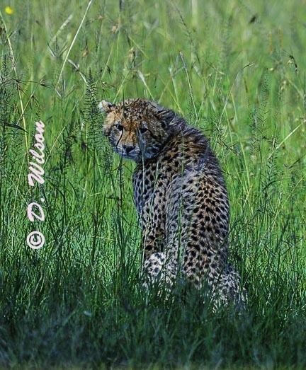 Young Cheetah - Kenya Africa --  starting at