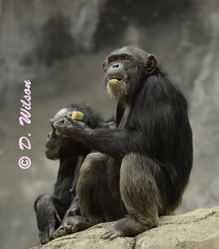 Chimpanzee - Snack Time --  starting at