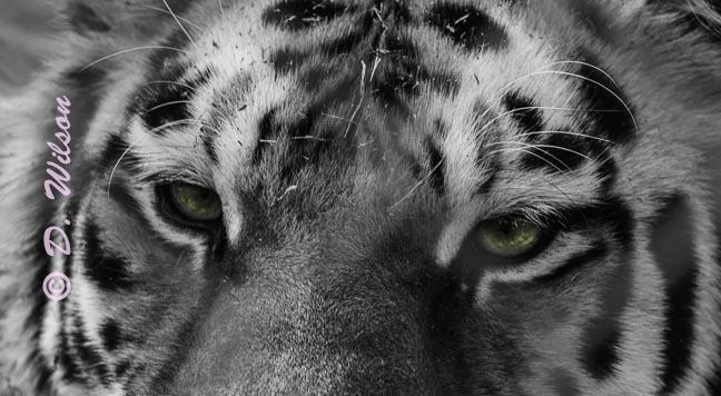 Tiger Eyes  --  starting at