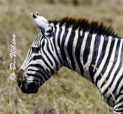 Zebra 1 - Kenya Africa  --  starting at