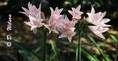 Pink Lilies  --  starting at