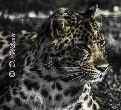 Raina - Amur Leopard  --  starting at