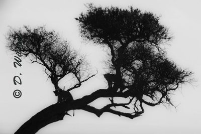 Lion Silhouettes in Tree - Kenya, Africa  --  starting at
