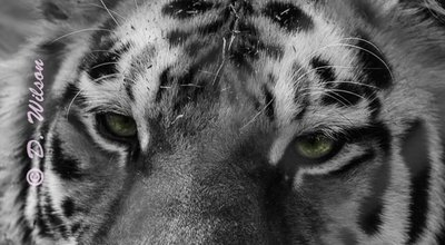 Tiger Eyes  --  starting at