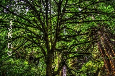 Sitka Spruce Tree - Trillium Falls Orick, CA  (HDR)  --  starting at