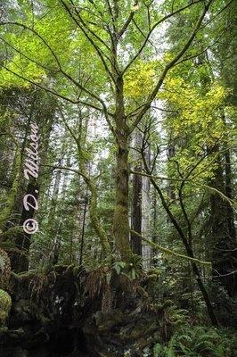 Redwoods Forrest, Ca  --  starting at