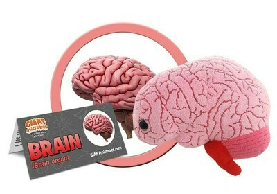 Brain (Organ)