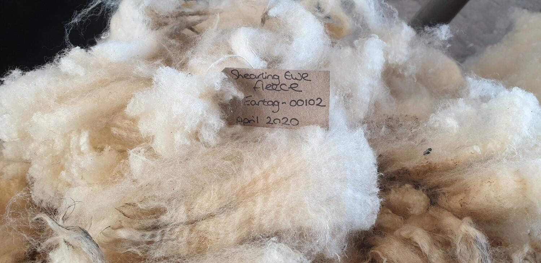 Raw Oxford Down Shearling ewe fleeces