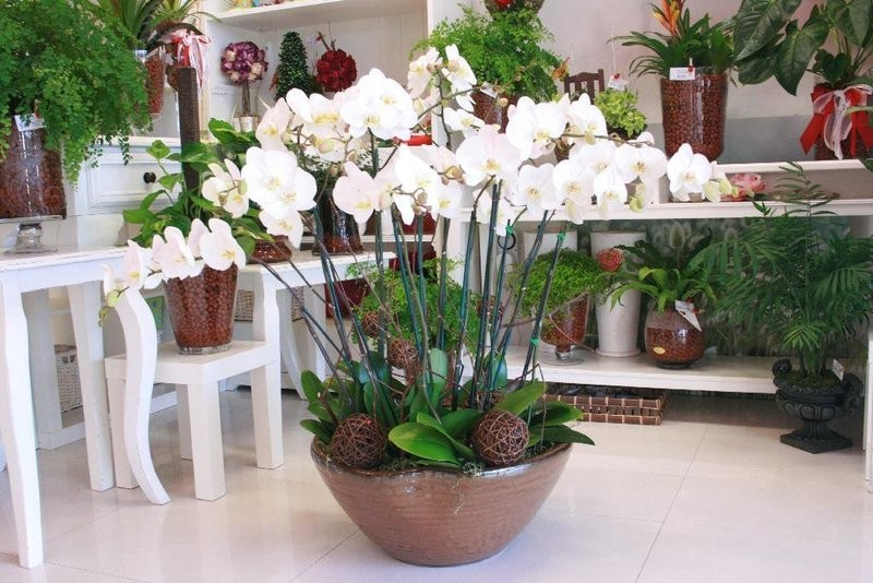 Luxury 10 Orchid Plant