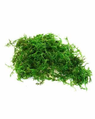 Dried Mountain Moss