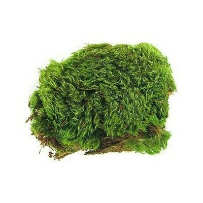 Dormant Frog Moss