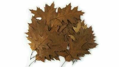 Northern Pin Oak Leaves