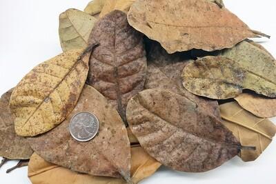 Cashew Leaves