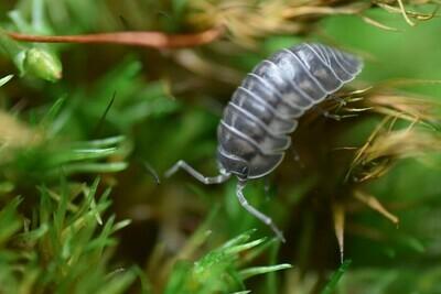Nosy Isopods