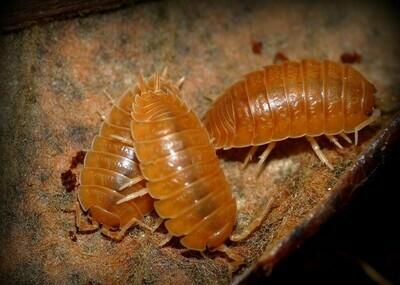 Smooth Orange Isopods