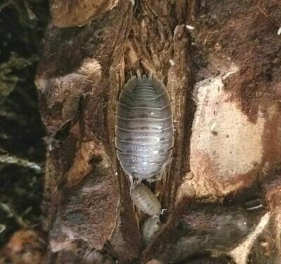 Giant Canyon Isopods
